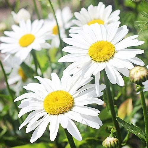 посадить ромашку садовую семена