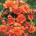 Купить - Бегония Cascade Orange