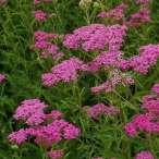 Купить - Тысячелистник Lilac Beauty