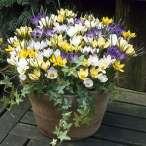 Купить - Крокус Ботанический Микс
