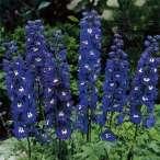 Купить - Дельфиниум Dark Blue White Bee