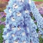Купить - Дельфиниум Sky Blue White Bee