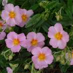 Купить - Гелиантемум Lawrenson's Pink