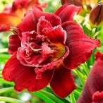 Купить - Лилейник Double Red Royal