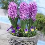 Купить - Гиацинт Purple Pride