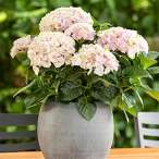 Купить - Гортензия Rembrandt Elegant Rosa