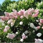 Купить - Гортензия Pink Lady