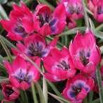 Купить - Тюльпан Little Beauty