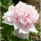 Купить - Пион Zhaos Pink Zhao Fen древовидный