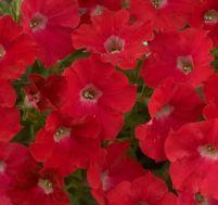 Петуния Fortunia Red фото