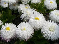 Маргаритка белая  фото