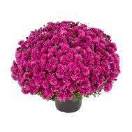 Хризантема Molica фото