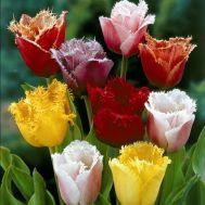 Тюльпан Бахромчатые Микс 100 фото