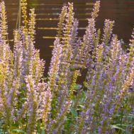 Лофант Purple Haze фото