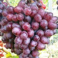 Виноград Шоколадный фото