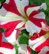 Петуния Танго красная звезда фото