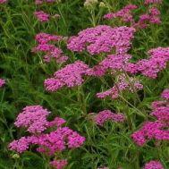 Тысячелистник Lilac Beauty фото