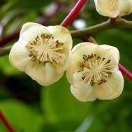 Актинидия Опылитель (мужской цветок) фото