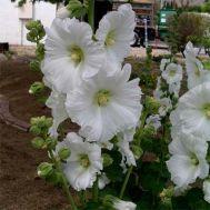Штокроза Rosea White фото