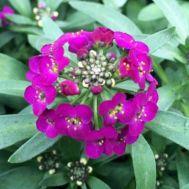 Алиссум фиолетовый фото