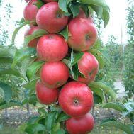 Яблоня колоновидная Антей фото