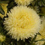 Астра Пионовидная желтая фото