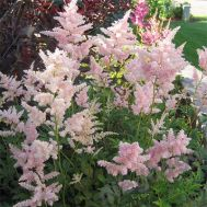 Астильба Peach Blossom фото