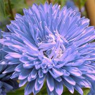 Астра Крален синяя фото