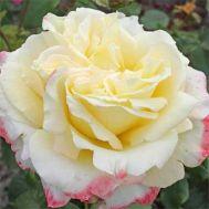 Роза Athena фото