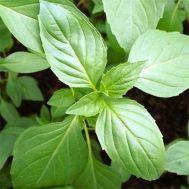 Базилик зеленый Бадьорый фото
