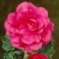 Бегония махровая розовая 25 фото