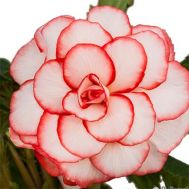 Бегония Picotee White Red фото