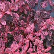 Барбарис Pink Queen фото