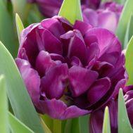 Тюльпан Blue Diamond 50 фото