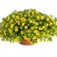 Калибрахоа Lindura Yellow фото