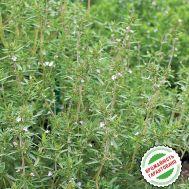 Чабер садовый Саммер Савои фото