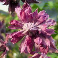 Клематис Mary Rose фото