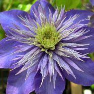 Клематис Multi Blue фото