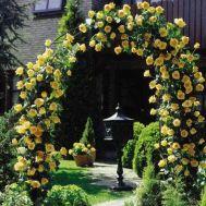 Роза плетистая Golden Showers фото