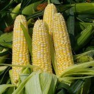 Кукуруза Брусника фото