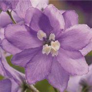 Дельфиниум Lavender White Bee фото