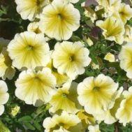 Петуния  Fortunia Yellow фото