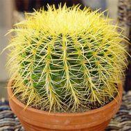 Эхинокактус Grusonii фото