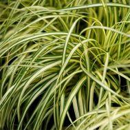 Осока Evergold фото