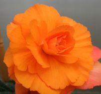 Бегония Multiflora Maxima оранжевая фото