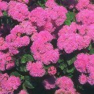 Агератум Розовый шар  фото