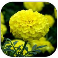 Бархатцы Эквинокс лимонные фото