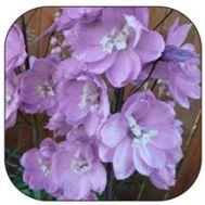 Дельфиниум Сидней розовый фото