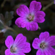 Герань Orkney Cherry фото