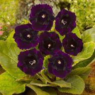 Глоксиния Violacea фото